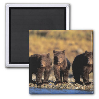 Grizzly bear, brown bear, cubs, Katmai National Square Magnet