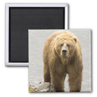 Grizzly Bear in Water at the Kodiak Refuge Square Magnet