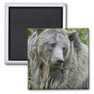 Grizzly Bear in Yellowstone National Park Square Magnet