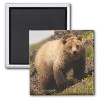 Grizzly Bear Magnets