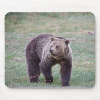 Grizzly bear mousepads