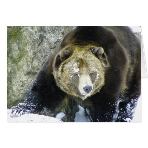 Grizzly Bear Portrait In Snow Greeting Cards
