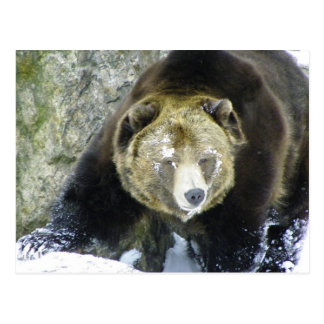 Grizzly Bear Portrait In Snow Post Card