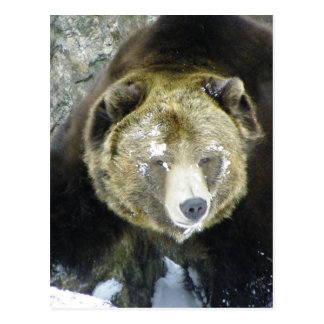 Grizzly Bear Portrait In Snow Postcard