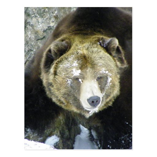 Grizzly Bear Portrait In Snow Post Cards
