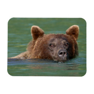 Grizzly Bear Swimming Rectangle Magnet