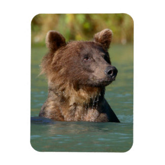 grizzly bear swimming vinyl magnet