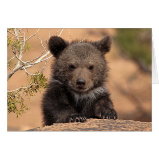 Grizzly bear (Ursus arctos horribilis) Card