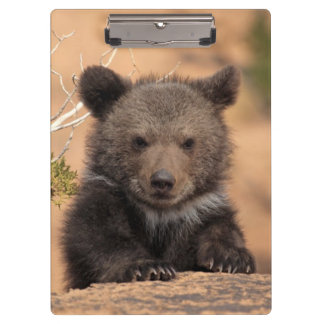 Grizzly bear (Ursus arctos horribilis) Clipboard