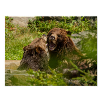 Grizzly Bears Play Fighting Poster