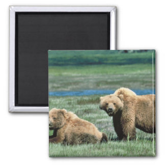 Grizzly Bears Square Magnet