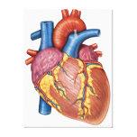 Gross Anatomy Of The Human Heart Canvas Print