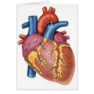 Gross Anatomy Of The Human Heart Cards