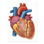 Gross Anatomy Of The Human Heart Postcard
