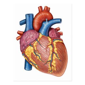 Gross Anatomy Of The Human Heart Post Card