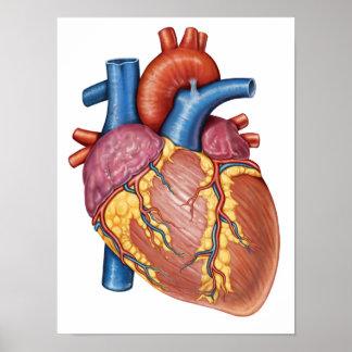 Gross Anatomy Of The Human Heart Print
