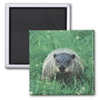 Ground Hog Square Magnet