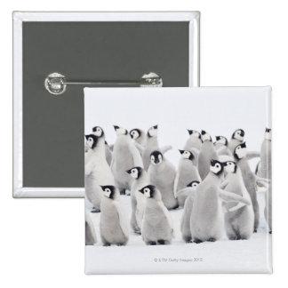Group of Emperor penguins (Aptenodytes forsteri) 15 Cm Square Badge