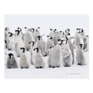 Group of Emperor penguins (Aptenodytes forsteri) Postcard