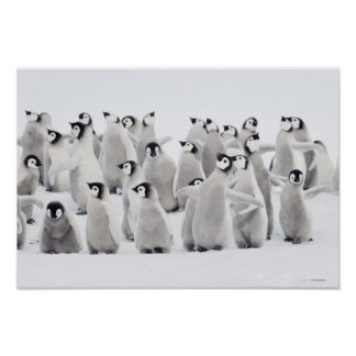 Group of Emperor penguins (Aptenodytes forsteri) Poster
