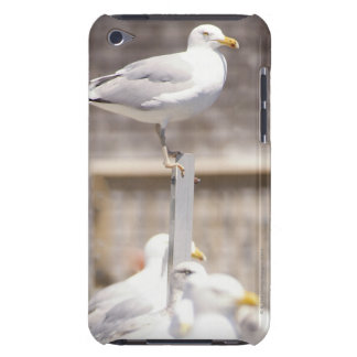 group of Herring Gulls (Larus argentatus) on a Barely There iPod Cover