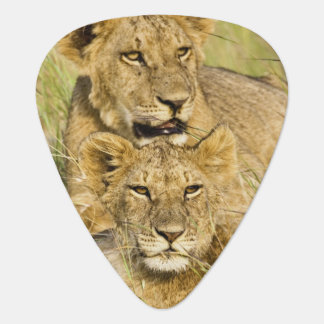 Group of lion cubs, Panthera leo, Masai Mara, Plectrum