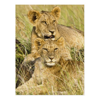 Group of lion cubs, Panthera leo, Masai Mara, Postcard