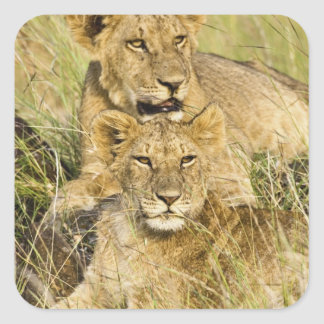 Group of lion cubs, Panthera leo, Masai Mara, Square Sticker