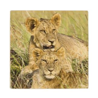 Group of lion cubs, Panthera leo, Masai Mara, Wood Coaster