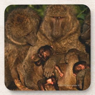 Group of olive baboons (Papio anubis) watching, Coaster