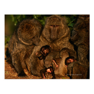Group of olive baboons (Papio anubis) watching, Postcard