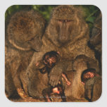 Group of olive baboons (Papio anubis) watching, Square Sticker