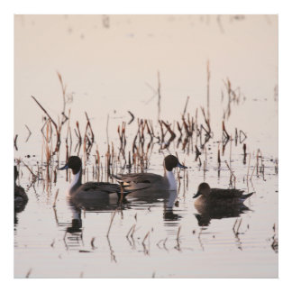 Group of Pintail Ducks Gather and Swims in a lake Photo Print