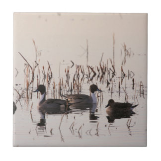 Group of Pintail Ducks Gather and Swims in a lake Small Square Tile