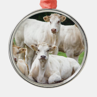 Group of white beige cows posing in meadow christmas ornament