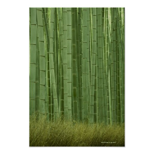 Grove of Bamboo trees Poster