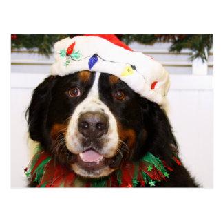 Grover - Bernese Mountain Dog Postcard