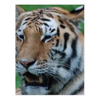 Growling Tiger Postcard