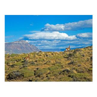 Guanaco Country, Patagonia Postcard
