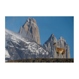 Guanaco in Torres del Paine | Chile Acrylic Wall Art