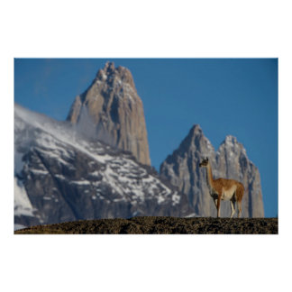 Guanaco in Torres del Paine | Chile Poster