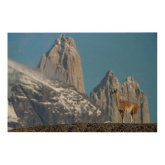 Guanaco in Torres del Paine   Chile Wood Canvas