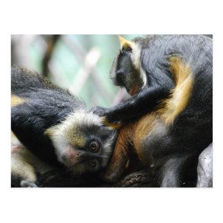 Guenon Monkeys  Postcard