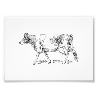 Guernsey Cow Art Photo