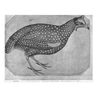 Guinea Fowl, from the The Vallardi Album Postcard