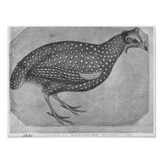 Guinea Fowl, from the The Vallardi Album Poster