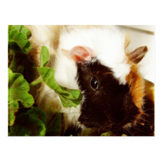 Guinea Pig in the Flowers Postcard