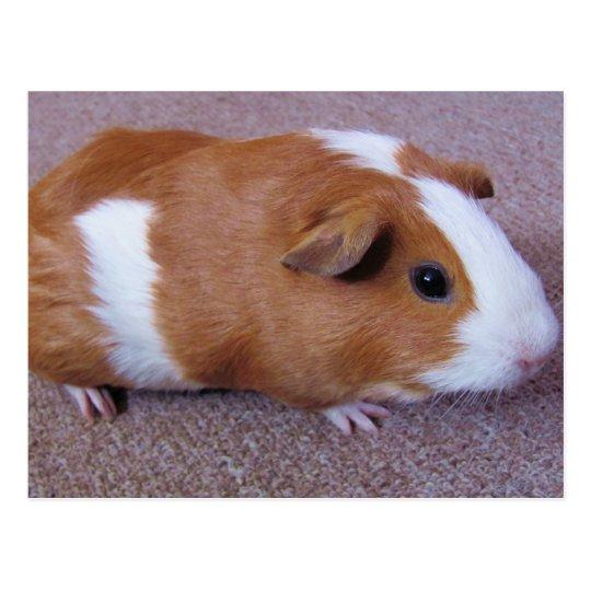 Guinea Pig Post Card