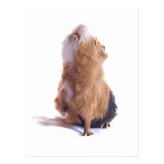 guinea pig, postcard