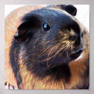 Guinea-Pig Poster